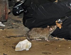 Un'immagine classica: ratto vicino a spazzatura... (immagine: dalla rete)