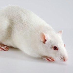 Un ratto Sprague-Dawley, immagine dalla rete (sageresearchlabs.com)
